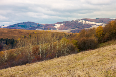 lovely landscape in mountains. row of trees on a hill with weathered grass. overcast sky above the distant mountain with snow or frost on hills