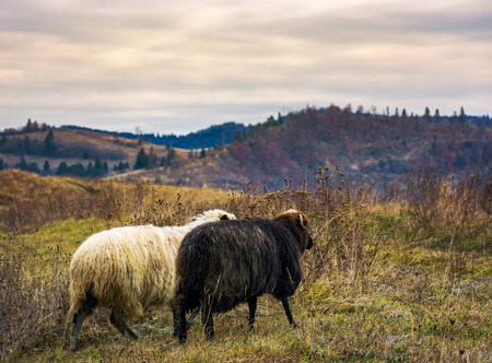 couple of sheep run across the mountain meadow. cloudy autumn weather Stock Photo