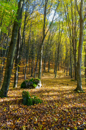 autumn forest on a sunny day. mossy boulders among the fallen foliage. lovely november scenery Stock Photo