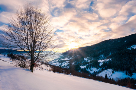 leafless lonely tree on a snowy slope at sunrise. wonderful winter scenery of Carpathian countryside in winter