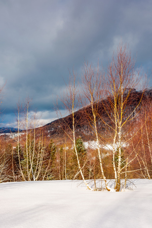 dramatic winter scenery in mountains. leafless birch forest on a snowy slope in sun light. distant mountains in shade of a cloud