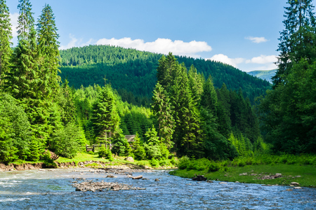 mountain river in forest. beautiful summer landscape. tall spruce trees on the riverbank