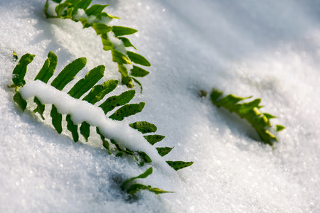 green fern leaves in snow. lovely nature background