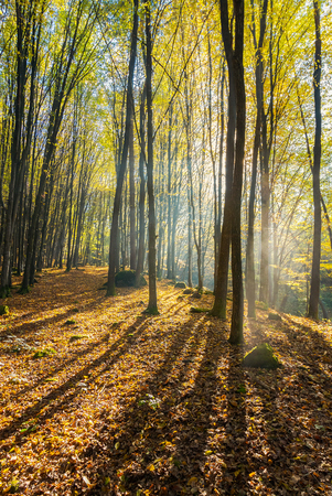 foggy morning in autumn forest. beautiful light through fog among the trees in yellow foliage Stock Photo