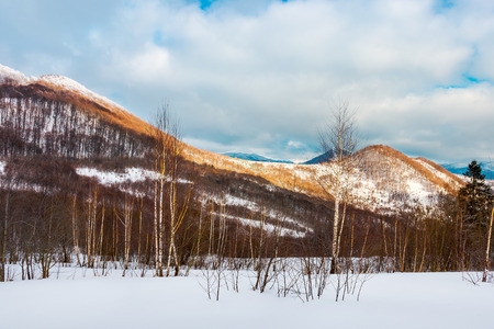 birch forest on the snowy slope. lovely landscape in mountains on a cloudy winter evening Stock Photo