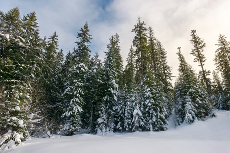 tall spruce trees covered with snow. beautiful nature winter scenery on an overcast day