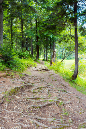 roots of trees on the forest trail. lovely scenery in summer Stock Photo