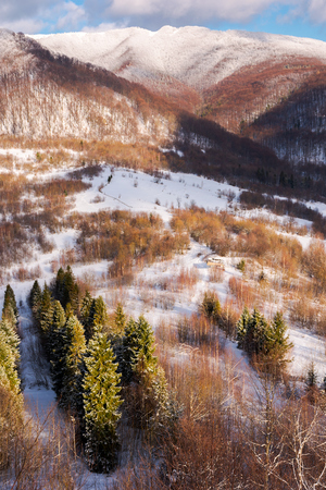 beautiful mountainous winter landscape on a sunny day. spruce trees down in the valley view from the top of a snowy hill
