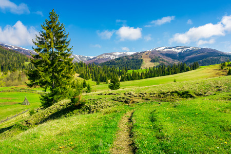 wonderful springtime weather in mountains. spruce trees on a grassy meadow. mountain ridge in the distance with snowy tops Stock Photo