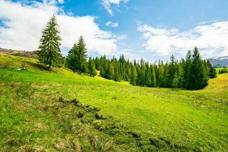 wonderful springtime weather in mountains. spruce forest on a grassy meadow. wonderful and bright weather with some fleecy clouds on a blue sky Stock Photo - 113389629