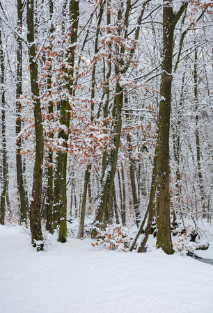 winter forest with some fall foliage in snow. beautiful nature background Stock Photo - 113582496