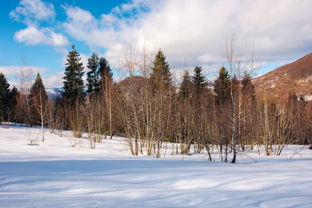 lovely winter scenery in mountains. leafless birch forest on a snowy slope