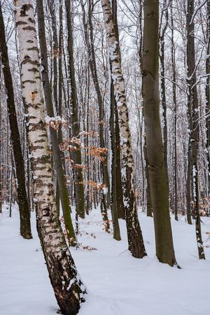 birch trees among winter beech forest. lovely nature background. Stock Photo