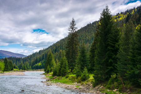 mountain river in spruce forest. cloudy springtime day. Stock Photo