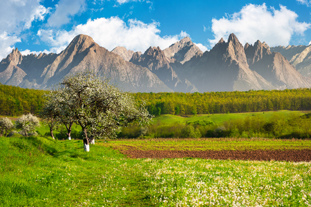 apple trees in blossom near the rural fields. high mountain ridge with rocky peaks in the distance. sunny an warm weather in springtime. composite image Stock Photo