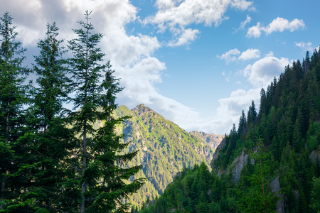 beauty of Fagaras ridge. Spruce trees on the rocky mountains. wonderful nature of Romanian Carpathians Stock Photo
