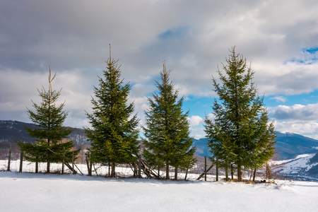 row of spruce trees on the edge of snowy slope. lovely winter scenery in mountain on a sunny day with cloudy sky Stock Photo