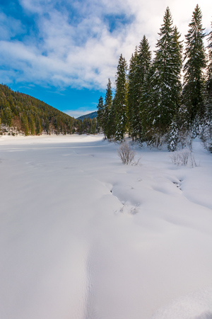 spruce trees around snowy meadow. beautiful winter scenery in mountains. wonderful sunny weather with some clouds on a blue sky. magic carpathian landscape