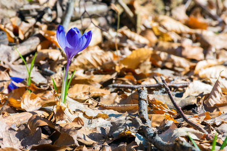 purple saffron flowers in fallen foliage. beautiful spring nature scenery.