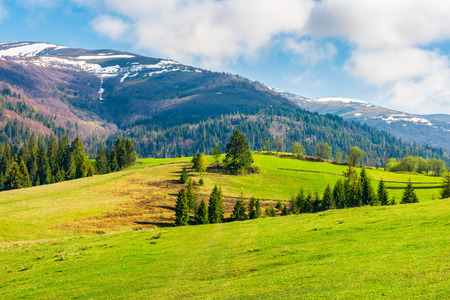 beautiful countryside in springtime. spruce trees on a grassy meadow. distant mountain with snow on the top. wonderful sunny weather