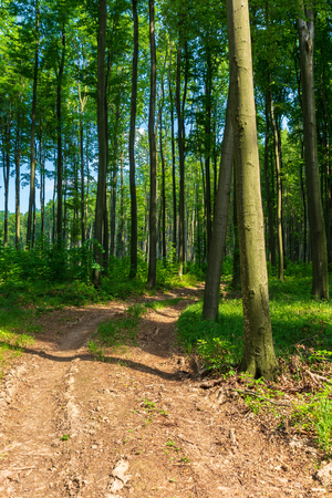 dirt road through beech forest. beautiful springtime scenery. Stock Photo