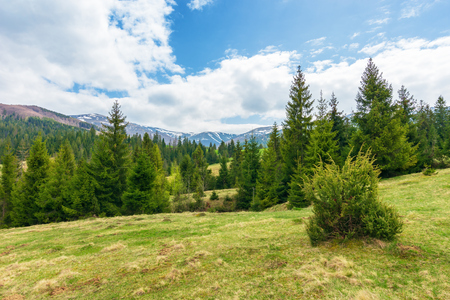 beautiful springtime landscape in mountains. spruce forest on grassy hillside meadow. spots of snow on distant ridge. Stock Photo - 115465601