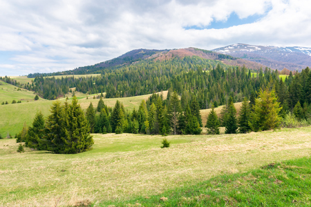 beautiful springtime landscape in mountains. spruce forest on a grassy meadow. spots of snow on the distant ridge. cloudy day Stock Photo