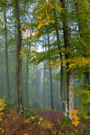 blue foggy morning in autumn forest. beautiful nature scenery. mix of yellow and green foliage on trees Stock Photo