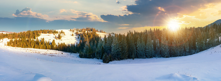 panorama of a beautiful winter landscape at sunset in evening light. spruce forest on a snow covered hills. part of trees in the shade. wonderful nature scenery in mountains