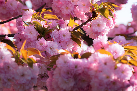 cherry blossom. beautiful natural background. tender pink flowers on the branch. wonderful sunny day in springtime Stock Photo - 116824722