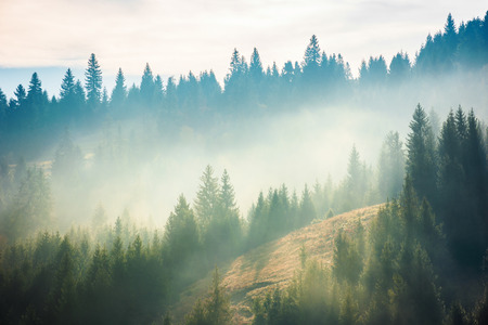spruce forest on the hill in fog. beautiful nature scenery in mountains. amazing morning weather in autumn . Stock Photo