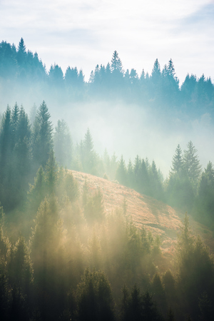 spruce trees on the slope in fog. beautiful nature scenery in mountains. amazing morning weather. Stock Photo - 116824754