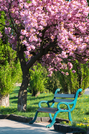 bench under the blossoming tree in a park. beautiful urban scenery in the morning. wonderful background in springtime