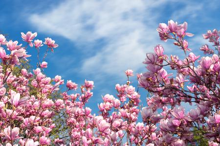 roze magnolia bloesem in het voorjaar. mooie bloemen onder een blauwe lucht met pluizige wolk op een zonnige dag. prachtige natuur achtergrond