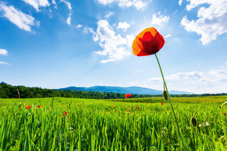 poppy in the field. beautiful countryside scenery in mountains. sunny day in the late spring. fluffy clouds on the sky. sun behind the flower. blurred natural background. Stock Photo