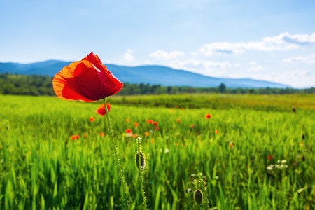 poppy flower in the field. beautiful rural scenery in mountains. sunny day in the late spring. blurred background