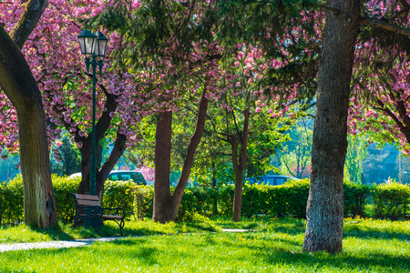 sakura blossom in the Masaryk park in Uzhgorod, Ukraine. beautiful urban scenery with bench and lantern in the morning. sunny weather.