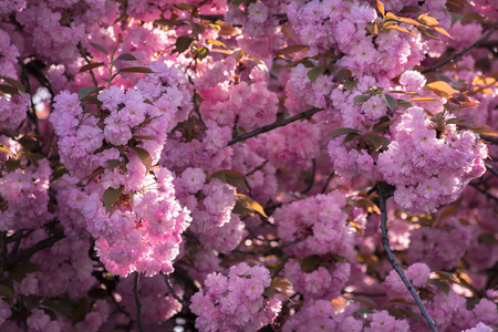 pink cherry blossom background. ample tree buds. wonderful nature scenery in spring Stock Photo