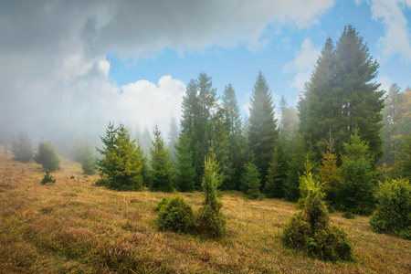 pine forest in autumn fog. trees on a meadow with weathered grass. dramatic nature scenery with gorgeous cloudy sky