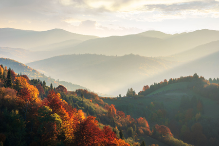 beautiful autumn landscape in mountains at sunset. trees in red foliage. beams of light fall in to the valley. view from the top of a hill