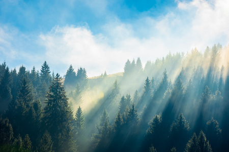 fantastic foggy scenery in autumn. pine forest on the hillside at high noon. wonderful sunny weather with rising clouds on a blue sky above. unusual epic nature condition. view from below Stock Photo