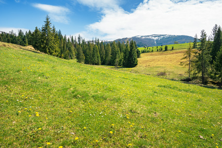 early springtime countryside in mountains. pine trees on a grassy meadow. beautiful carpathian landscape on a sunny day. hills with snowy tops in the distance Stock Photo