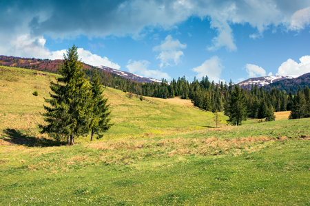 early springtime countryside in mountains. pine forest on a grassy meadow. beautiful carpathian landscape on a cloudy day. hills with snowy tops in the distance