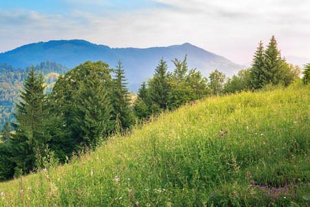 conifer trees on a grassy hill. beautiful summer scenery in mountains at sunrise. meadow with wild herbs. wonderful sunny weather Stock Photo