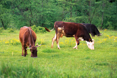 three cows grazing near the forest. green grassy meadow. rural natural economy. summer countryside