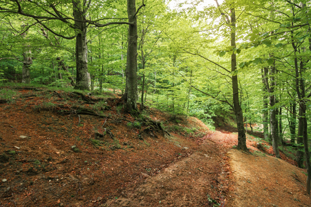 dirt road through beech forest. travel background. summer nature scenery Stock Photo - 117778227