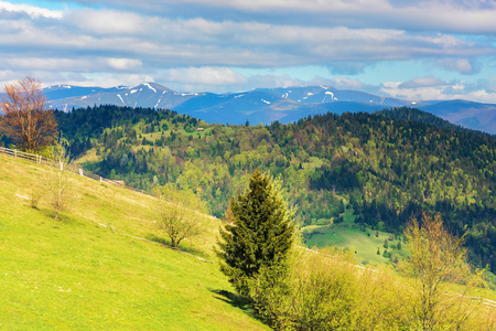 trees on the grassy hill in mountains. distant ridge with snowy tops. beautiful countryside scenery in springtime. wonderful sunny weather with cloudy sky Stock Photo