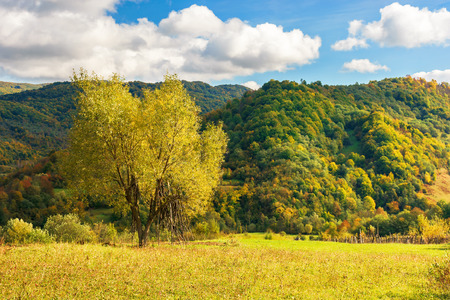 tree on the rural field in mountains. beautiful countryside scenery in early autumn. yellow foliage. grassy meadow. sunny weather with fluffy clouds on a blue sky