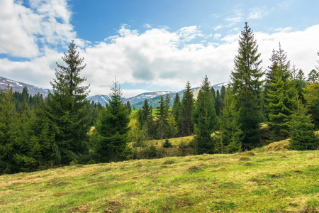 spruce forest on the hill in springtime. row of evergreens on the grassy meadow. distant ridge with spots of snow. cloudy afternoon weather Stock Photo