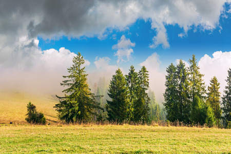 coniferous forest on the hillside in fog. fir behind the meadow with weathered grass. beautiful sunny autumn weather with cloudy sky